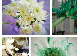How plants Drink – Tinted Flowers and Celery
