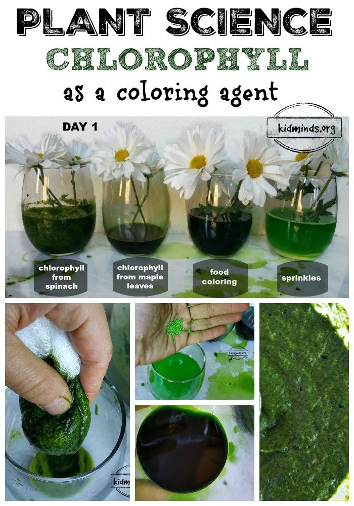 Chlorophyll as a coloring agent.  Is it possible?  Can we take chlorophyll out of one plant and put it in another?