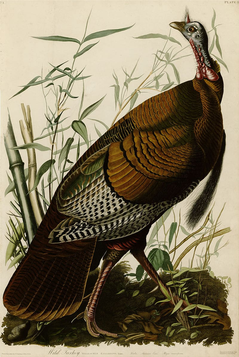 Plate 1 of Birds of America by John James Audubon depicting Wild Turkey.  Source credit: Wikipedia