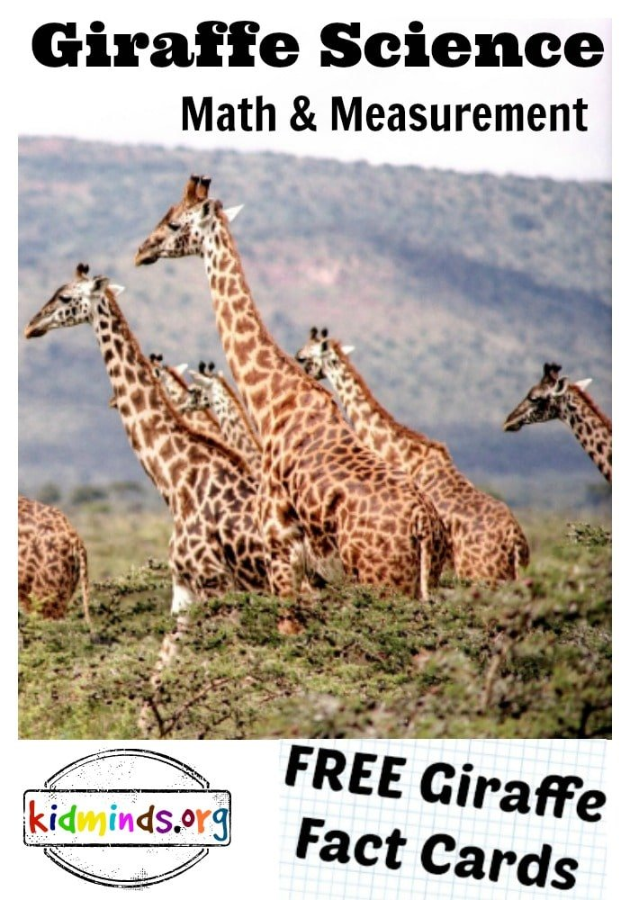 Giraffe Science Math and Measurement. To help you celebrate Giraffe Day with us, I created some free printables with Fun Giraffe Facts about giraffe biology, history, math, plus some multiple choice questions, true/false statements, and more.   I will also show you how we measured giraffes' necks with standard and nonstandard unit measurements.