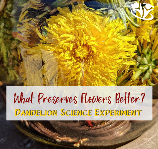 "Bring chemistry to ""life"" with a simple flower science experiment #STEM #handsonlearning #kidsactivities #scienceforlittlekids #kidminds #elemenaryscience #spring #dandelions"